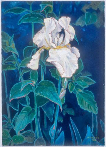 White-Iris