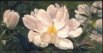 Paeonia alba